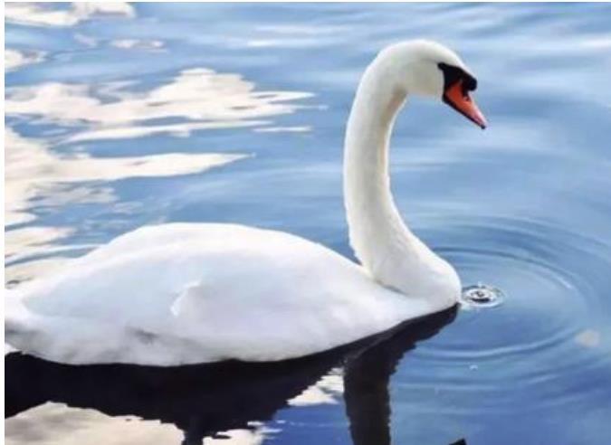 天鹅仙女故事主要内容 关于天鹅的神话传说