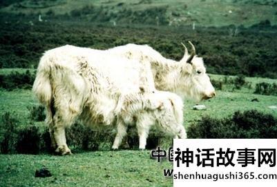 白牦牛的传说故事